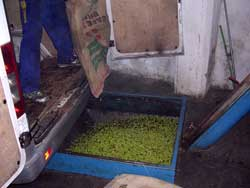 Olivenauffangbehälter